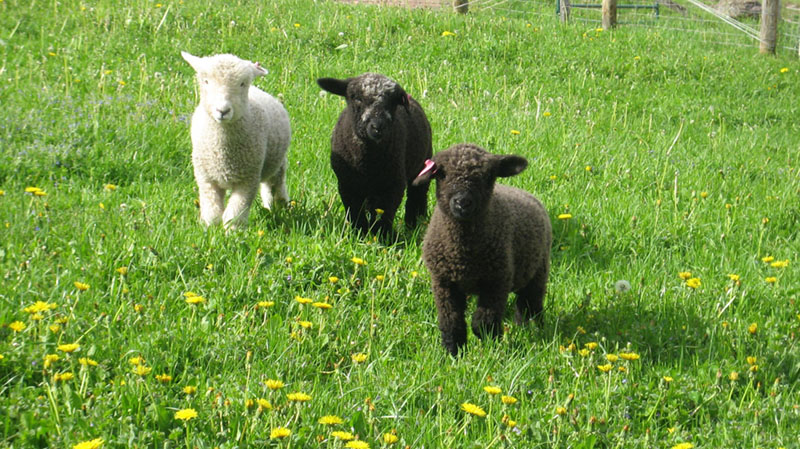 more new lambs 001a.jpg